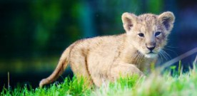 Help name Dublin zoo's new lion cub