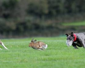 Clonmel coursing finals are here