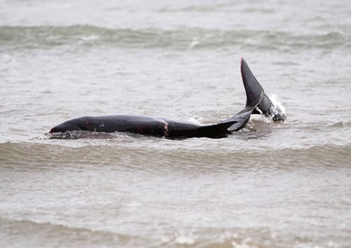 Big increase stranded whales dolphins