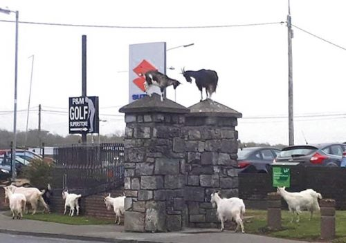 Clare motorists beware leaping goats