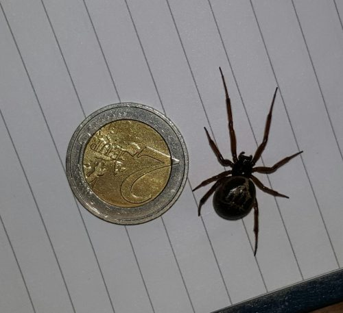 Noble False Widow Spider Feeds on Protected Native Irish Lizard